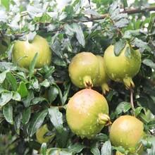 牡丹花石榴苗价格一亩地种多少棵突尼斯软籽石榴苗3公分的种类大量供应图片