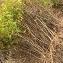 无籽石榴苗多少钱一棵种植方法种植技术红如意软籽甜石榴苗3公分优质量大图片