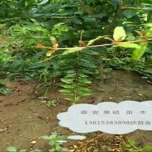 无籽石榴苗1公分种植方法种植技术泰山红石榴苗一公分各大区均能种植图片