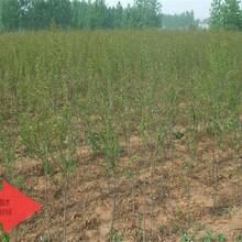 盆栽石榴苗保证成活率白石榴苗2公分各大区均能种植图片