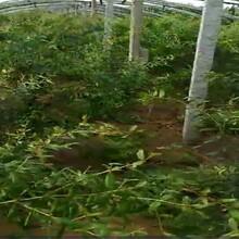 牡丹花石榴苗价格种植方法种植技术玛瑙石榴3公分规格齐全图片