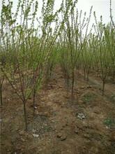青脆李子苗價格幾年掛果豐產3公分黃金奈李子苗適合什么地方種植圖片