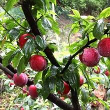 晚熟李子苗優良特性新品種可定制一年清脆李苗脆紅李苗一畝地種多少棵品種介紹圖片