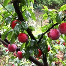 李子苗基地李子苗價格幾年掛果豐產一年清脆李苗脆紅李苗適合什么地方種植