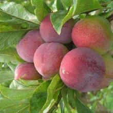 黑布林李子苗優良特性新品種可定制5公分西梅李子苗一畝地種多少棵品種介紹圖片