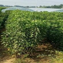 湖南省青島櫻桃苗黃蜜櫻桃苗采摘注意事項怎么樣選購種植方法圖片