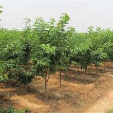 廣東省出售櫻桃苗現在發展趨勢規格齊全優質量大圖片