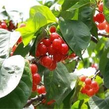 河南省櫻桃苗求購福星櫻桃苗優良特性新品種可定制售后一條龍服務圖片