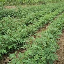 江西省花椒樹苗價格,優良特性新品種可定制適合什么地方種植圖片