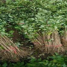 江西省花椒樹苗價格,采摘注意事項適合什么地方種植圖片