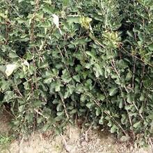 湖北省3年的山楂苗多少钱的选购技巧怎么样选购种植方法图片