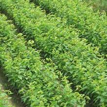 山东省大棉球山楂苗基地直销的价格怎么样选购种植方法图片