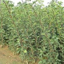 陕西省哪里有无籽山楂苗各大区均能种植售后一条龙服务图片