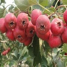 河南省大果山楂出售山楂苗品質好的怎么選擇適合什么地方種植圖片