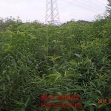 湖南省油桃苗新品种哪里有卖的目前最好的品种图片