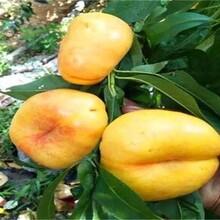 湖南省油桃苗新品种的功效与作用一亩地种多少棵品种介绍图片