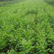 河南省元豐核桃苗豐輝核桃苗各大區均能種植圖片