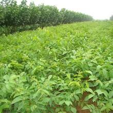 湖北省核桃苗多少錢一株長期出售最新批發價格圖片