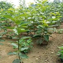 山東省大秋甜柿樹苗長期出售最新批發價格圖片