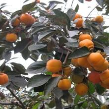 山東省大秋甜柿樹苗嫁接苗柿子苗多少錢一棵的功效與作用圖片