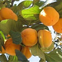 江西省陽豐甜柿樹苗長期出售基地直銷的價格圖片