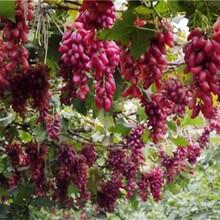 山西省葡萄苗什么时候种植的生态习性图片