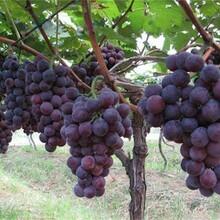 江西省葡萄树价格包品种包成活率品质好的怎么选择图片