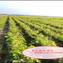 山西省葡萄苗最佳种植时间品质好的怎么选择图片