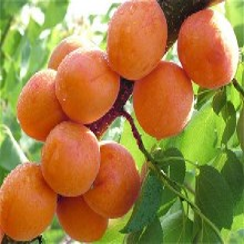 山东省金太阳杏树苗长期出售品质好的怎么选择图片
