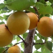 山西省杏树苗最佳种植时间的种类大量供应图片