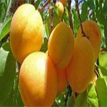 广东省晚红杏苗什么时候种植各大区均能种植图片