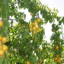 山西省杏树苗的生态习性图片