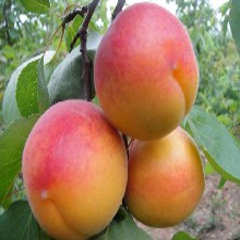 河南省新世纪杏树苗求购的生态习性图片