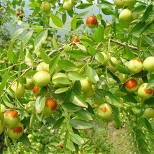 山东省大柿饼枣树苗早熟高产各大区均能种植图片