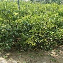 湖南省二代冬枣苗最佳种植时间基地直销的价格图片