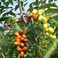 壶瓶枣树苗最佳种植时间的生态习性图片