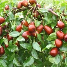 山东省大柿饼枣树苗最佳种植时间的种类大量供应图片