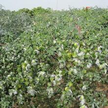 江西省葫芦枣树苗最佳种植时间最新批发价格图片