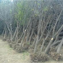 湖北省雪枣树苗长期出售的功效与作用图片