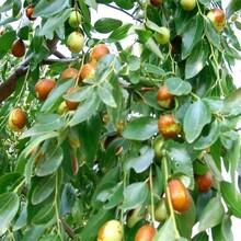 山西省枣树苗求购的生态习性图片