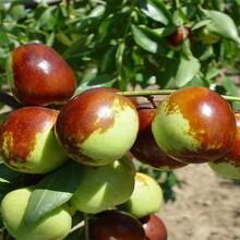 壶瓶枣树苗的种类大量供应图片