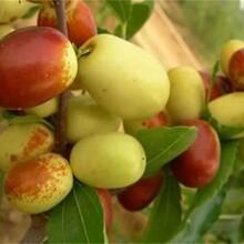 湖北省雪枣树苗的种类大量供应图片