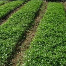 河南省花椒苗基地早熟高產保成活各大區均能種植保成活圖片