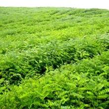 山西省花椒苗價格低成活率高基地直銷的價格圖片