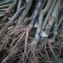 內蒙古自治區板栗的價格板栗樹苗優質品種千萬別錯過保成活嫁接板栗苗多少錢一棵保成活圖片