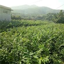 河南省泰山黃棚板栗苗批發價格是多少保成活長期出售保成活圖片