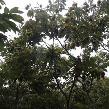 河南省泰山黃棚板栗苗應注意的關鍵問題保成活長期出售保成活圖片