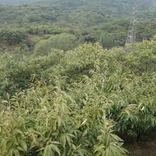 內蒙古自治區板栗的價格板栗樹苗低價出售保成活長期出售保成活圖片