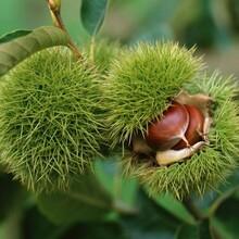 河南省泰山黃棚板栗苗品種優純度高保成活價格低成活率高圖片