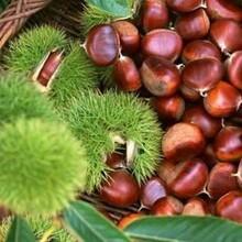 江西省板栗樹批發報價價格低結果多保成活什么時候種植保成活圖片